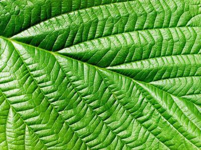 Groen blad (folium)