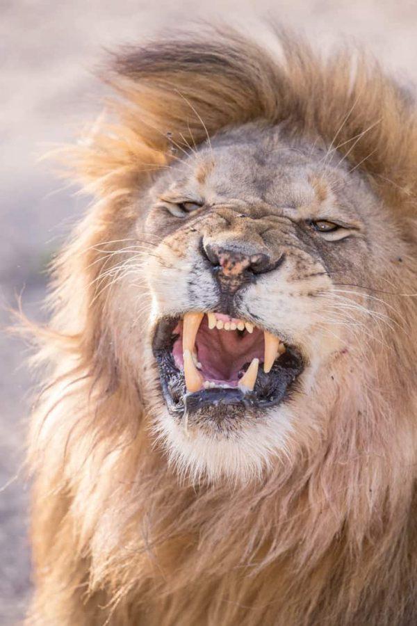Leeuw gevaar